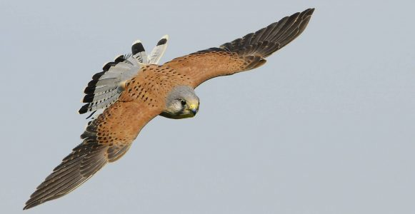 Image of a Bird of Prey Gliding