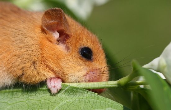 Closeup image of a brown dormouse sitting on a leaf